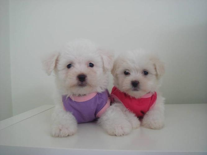 - - TOY SIZE MALTIPOO PUPPIES - - 2 Girls Left ! - - See Pics