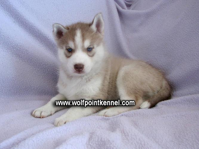 1 CKC Siberian Husky Puppy left