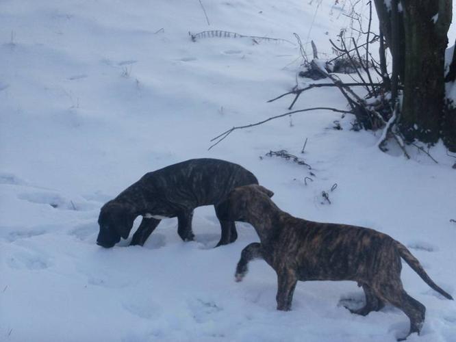 2 Great Dane Pups Left