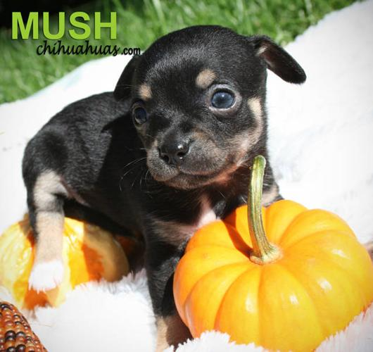 3 Beautiful Black And Brown Male Female Chihuahua Puppies For Sale