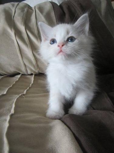 4 Altered Purebred Registered Ragdoll Kittens for sale in