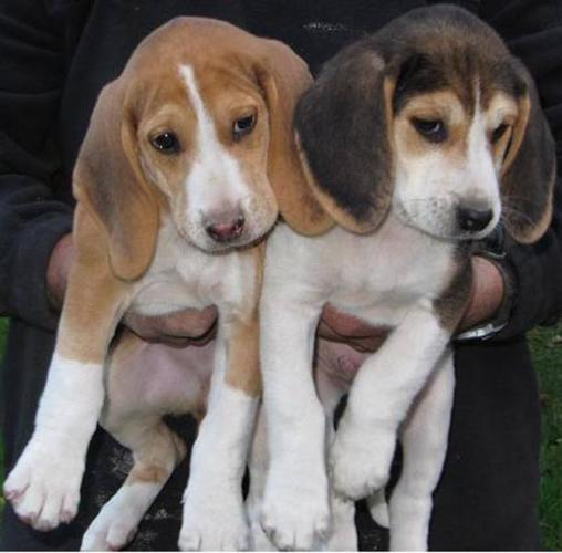5 Male Beaglewalker Hound Pups For Sale In Maxville Ontario Ads