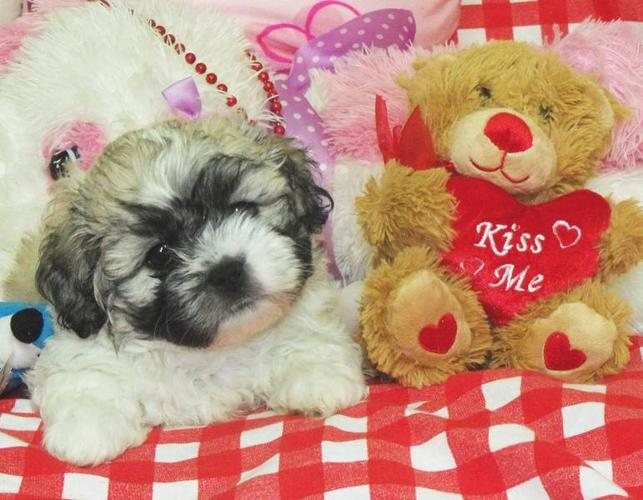 8 Weeks Old Shichon Puppies For Sale In Waterloo Ontario