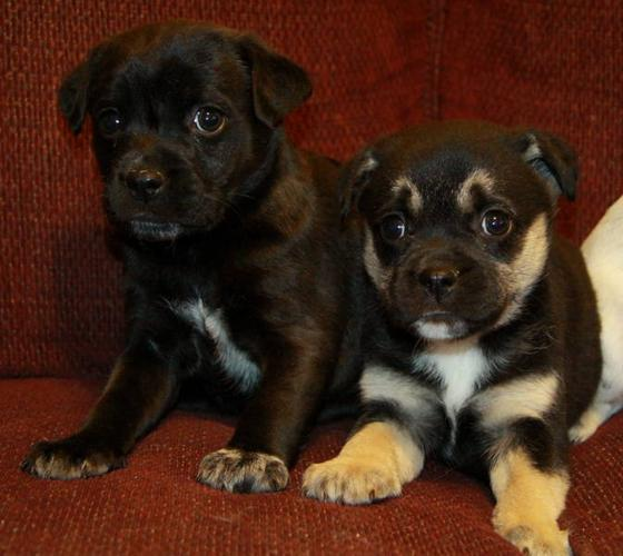 Adorable Blue Heeler X Puppies Now Ready!