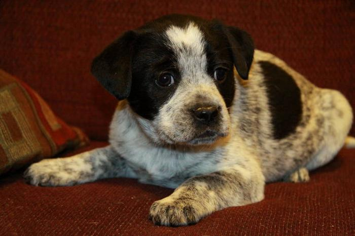 Adorable Blue Heeler X Puppies Now Ready!