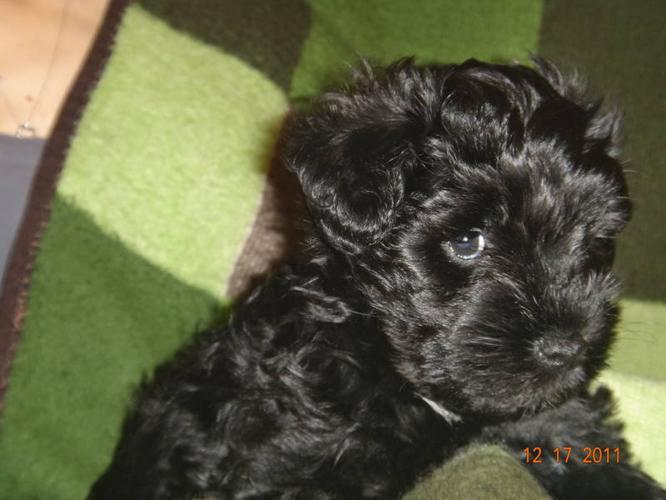 Adorable hypoallergenic purebred Miniature Schnauzer puppies for
