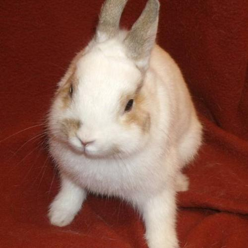 Adorable male Netherland Dwarf up for adoption! :)