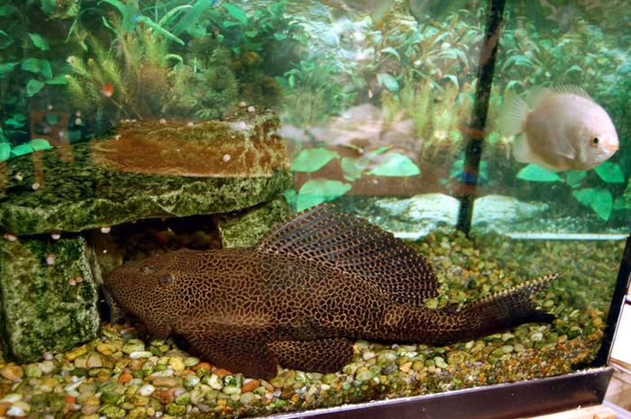 Adult tropical fish for sale cheap huge 45cm long pleco for Pleco fish for sale