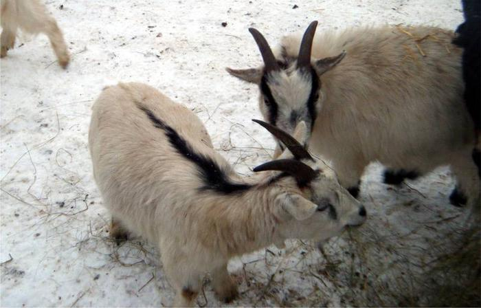 African Pygmy Goats