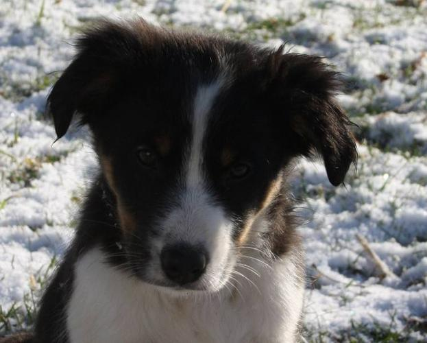 Australian shepherd puppies for sale for sale in madoc ontario ads