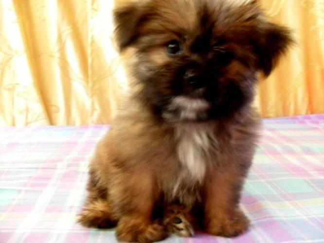 Pictures Of Shiranian Puppies | Dog Breeds Picture