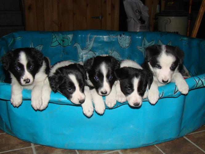 Beauiful Border Collie pups