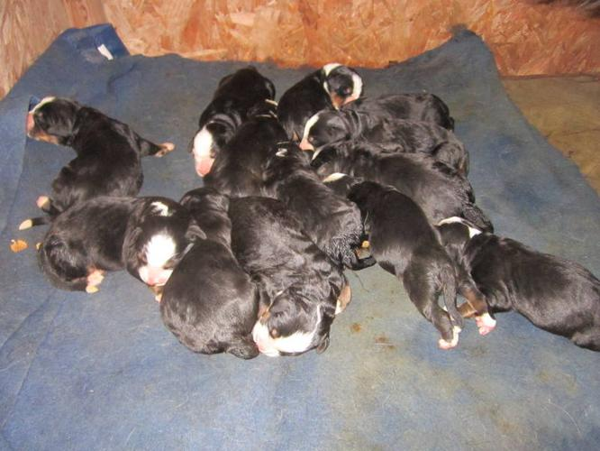 Beautiful Bernese Mountain Dog Puppies For Sale In Dresden