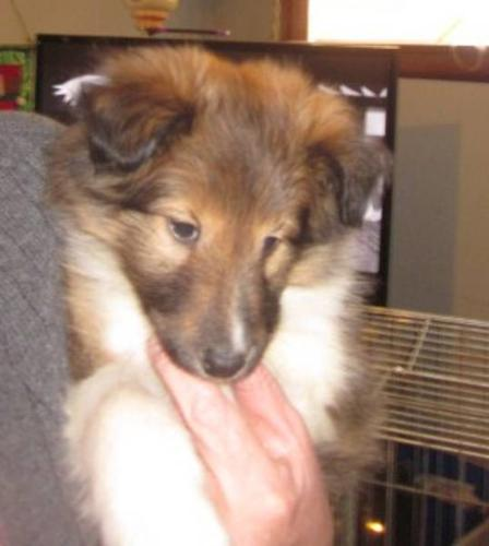 Beautiful Quality Sheltie Male Pup (Sheltland Sheepdog)