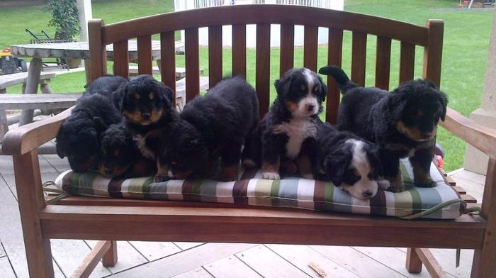 Bernese Mountain Dog Puppies For Sale In Lynden Ontario