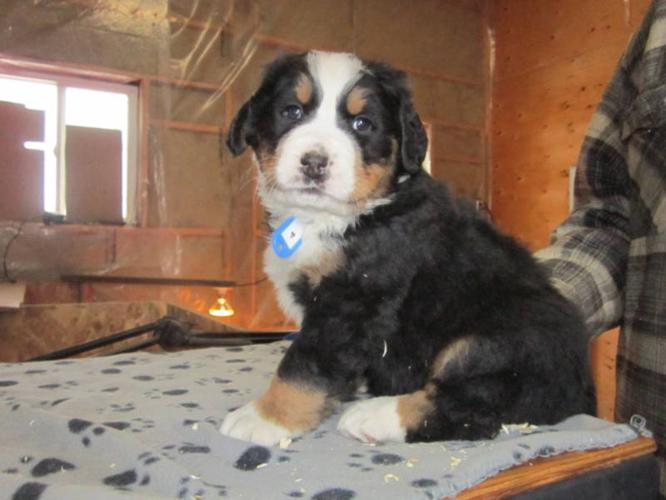 Bernese Mountaindog puppies for sale