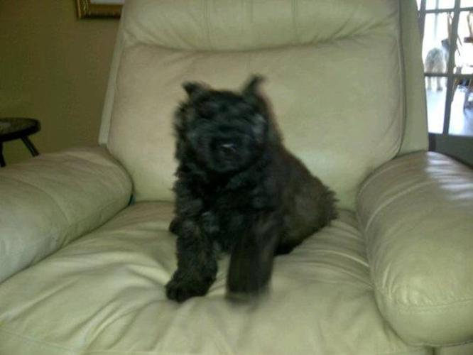 Bouvier Puppy Seeking Home for Christmas