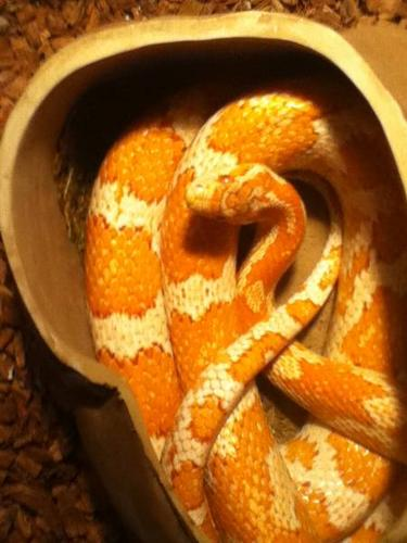 Breeding pair of Corn Snakes with enclosure