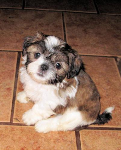 Delightful Miniature Shih Tzu Puppies For Sale In Sundridge