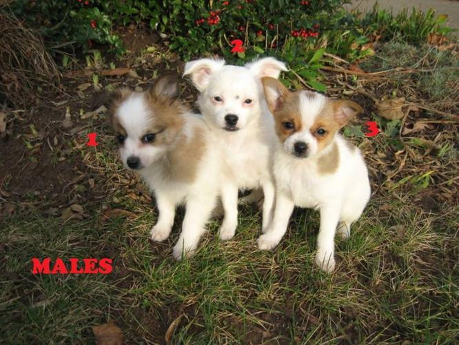 gorgeous pom chi puppies for sale in hamilton  ontario