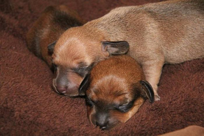 Gorgeous....Mini Dachshund Puppies.Smooth Coat. Ready for Spring
