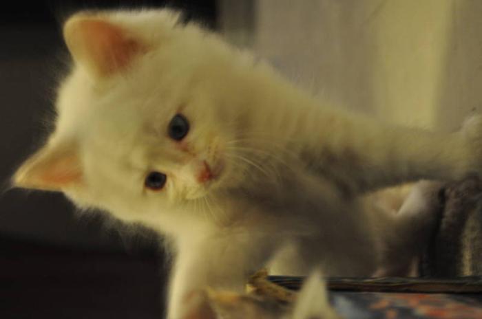 Kittens TICA Ragdolls (Purebred)