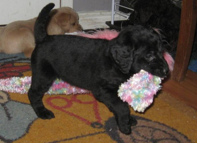 Labradoodle Black & Blond (rare chocolate features) 5 available!