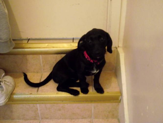 Lab/weiner puppy for sale! CHEAP