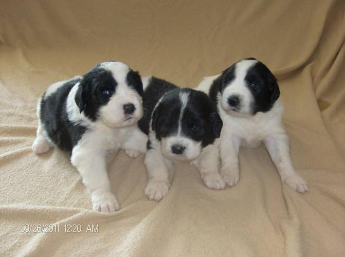 Landseer Newfoundland Puppies For Sale In Sturgeon Falls Ontario