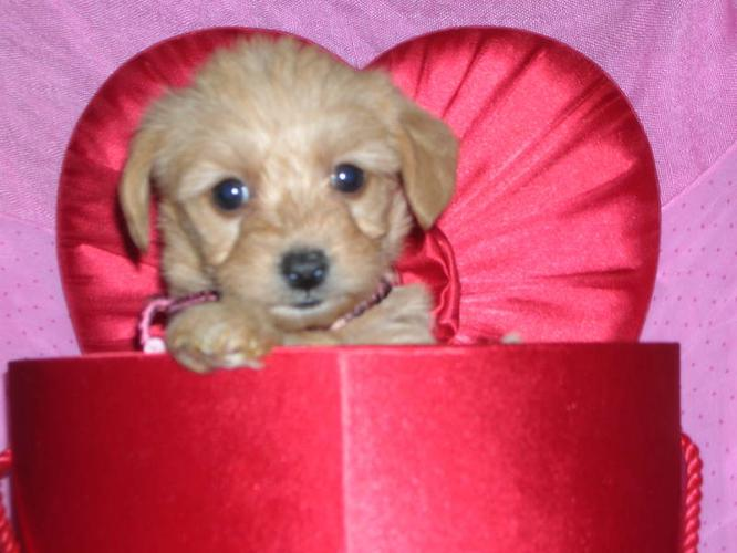 Lovely Yorkiepoo Puppies For Sale In Gads Hill Station