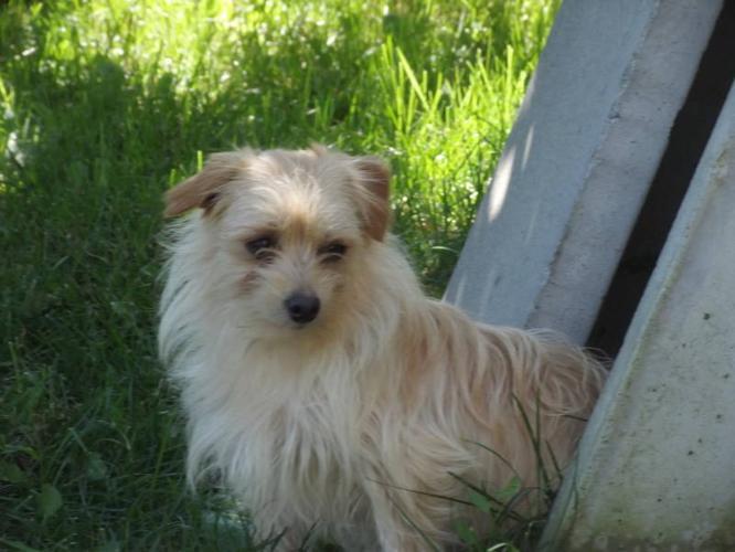 Male Morkie Puppy for Sale (Maltese x Yorki)