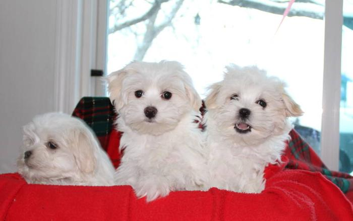 Maltese Puppies for sale in Dryden, Ontario - Ads in Ontraio