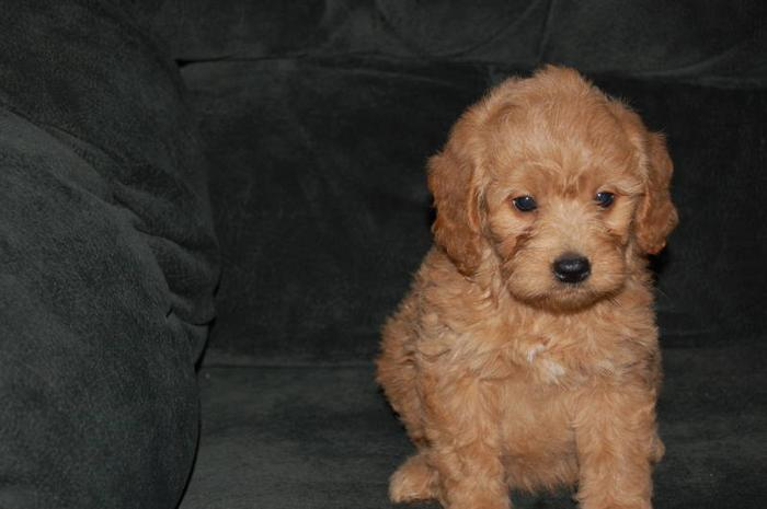 Mini Golden Doodle Puppies For Sale In Cobden Ontario Ads