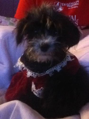 morkie search new family for christmas