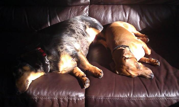 Pair of Dachshunds seek new family