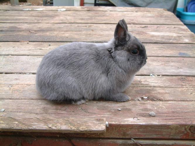 Pedigreed Netherland Dwarf rabbit