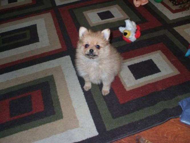 Pomeranian Male Puppy
