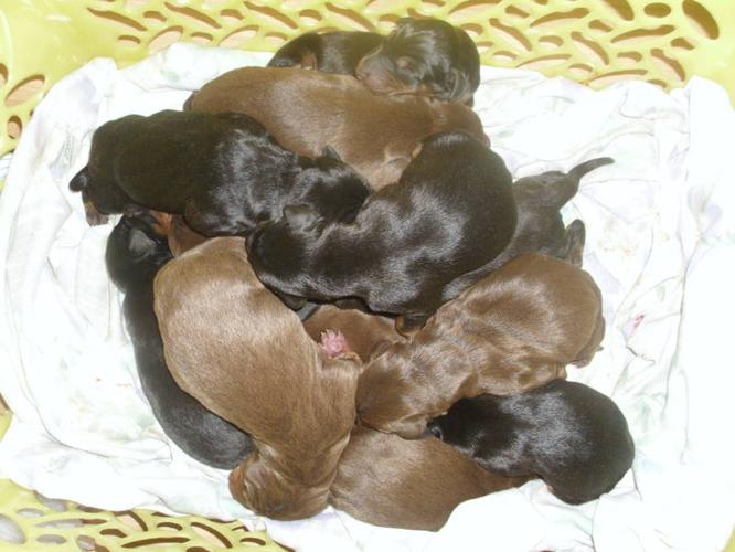 Pure bread doberman puppies for sale