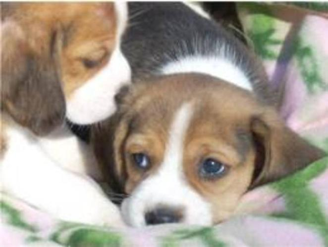 Purebred Beagle puppies pups Parents on Site Ready to go!