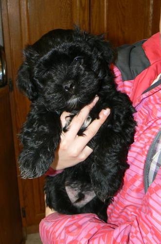 Purebred Havanese Puppies for Sale Ready for Homes NOW