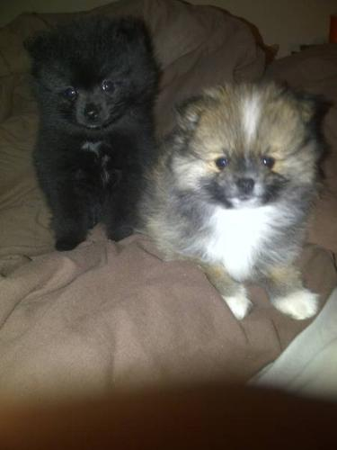 Purebred Toy Pomeranian Pups For Sale 1 Male 1 Female Left For Sale
