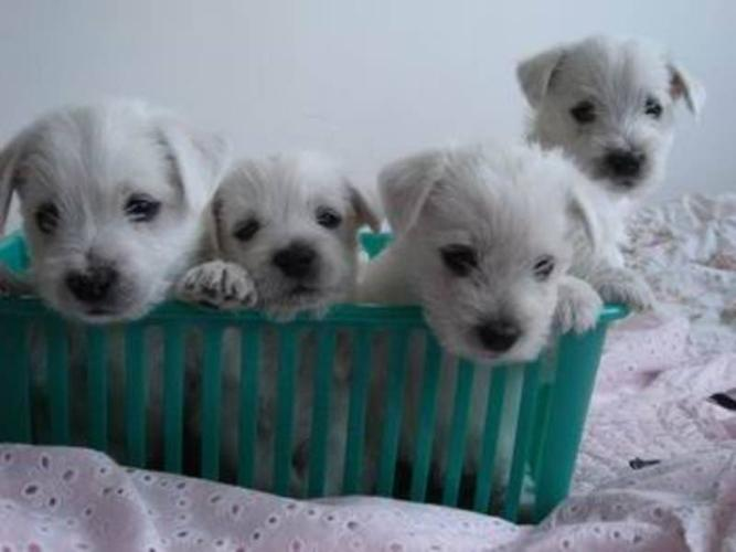 Purebred Westie puppies!