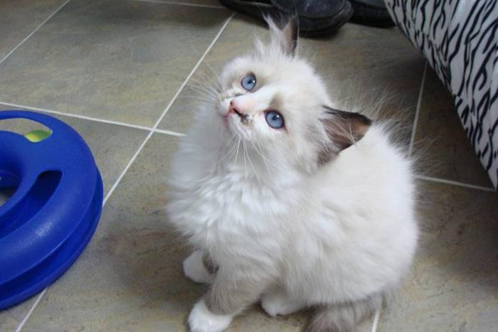 Ragdoll Kittens PUREBRED REGISTERED TICA/CFA HURRY Only