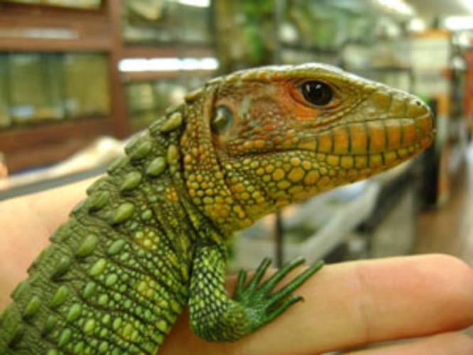 Image of: Eating Rare Animals At Port Credit Pets Canadas Reptile Central Classifieds For Sale In Mississauga Ontario Ads In Ontraio Rare Animals At Port Credit Pets Canadas Reptile Central For Sale