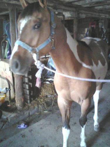 ***Registered Quarter and Registered Paint Horses For Sale***
