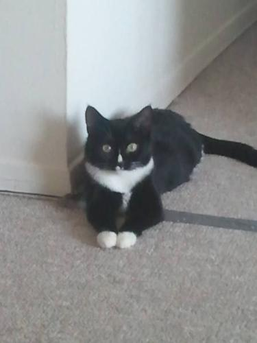 rescued beautiful black and white cat free to good home