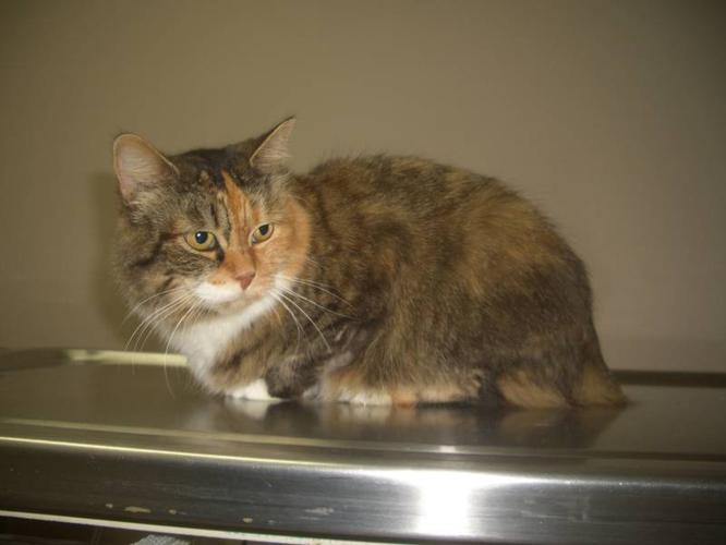 Rescued Manx Cat! Gorgeous Tiny Calico ~ Meet Princess! LOOK!
