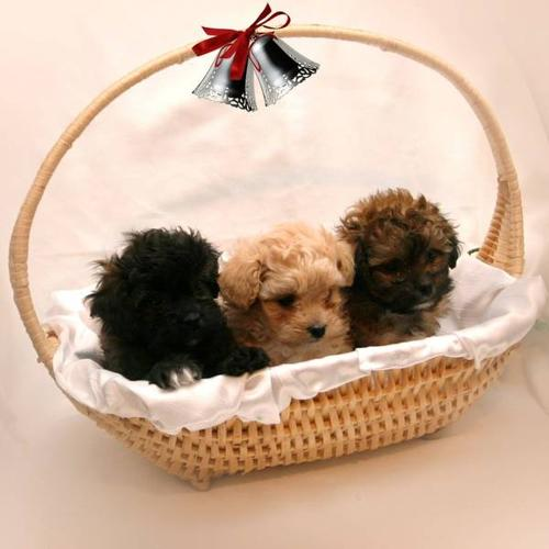 Shih Tzu x Toy Poodle    New price for sale in Hawkesville