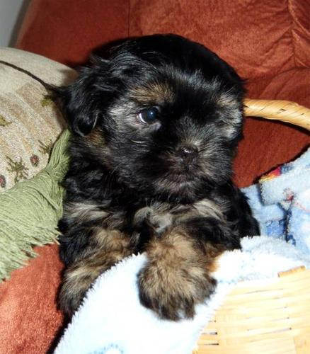 Shorkie pups ONLY 2 LEFT!! for sale in Courtland, Ontario