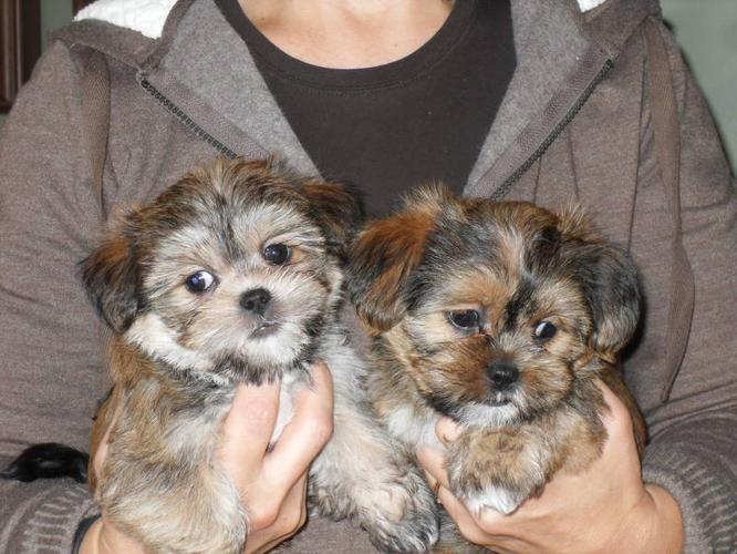 Shorkies Yorkshire Terrier And Shih Tzu Mix